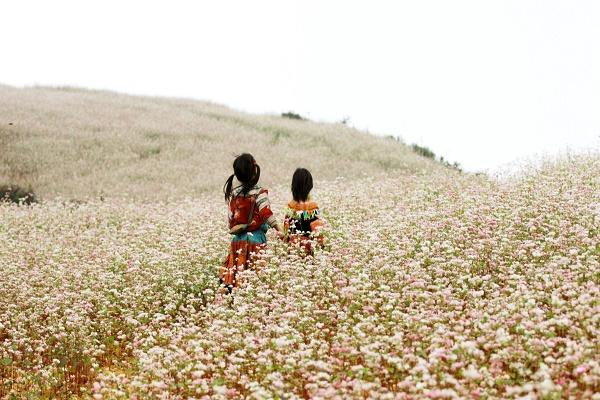 Hà Giang nổi tiếng với những cánh đồng tam giác mạch